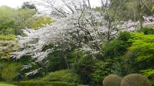 東高根森林公園の桜